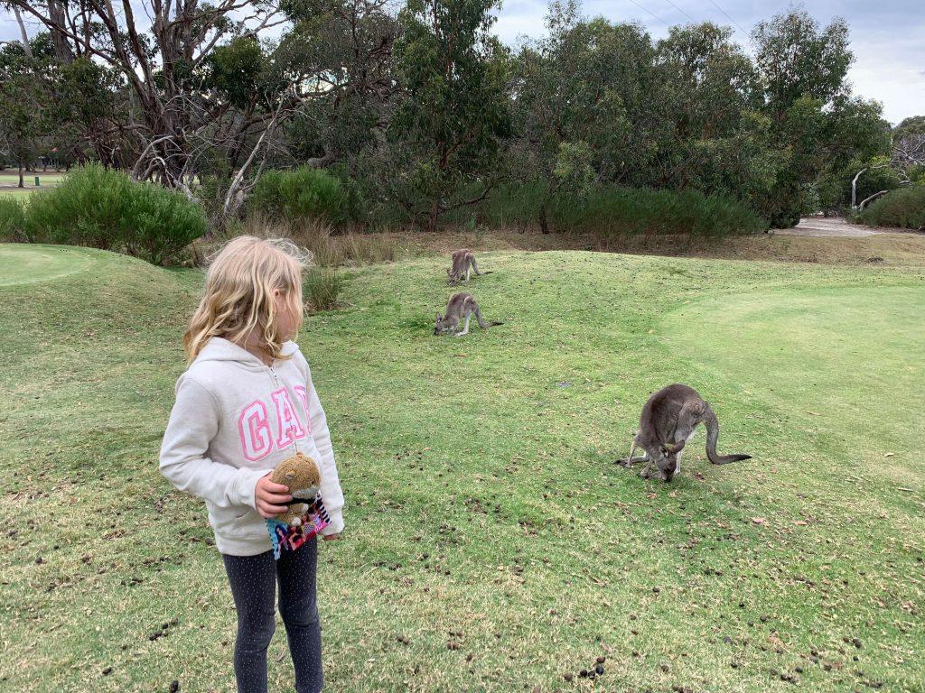 Wild kangaroos australia