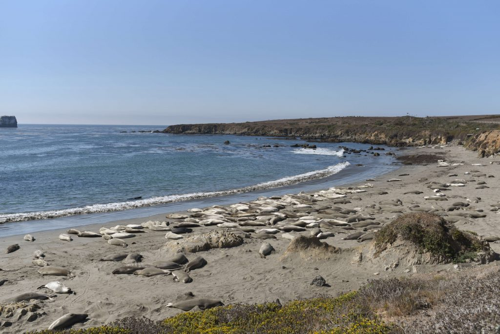 Sea lions San Simeon